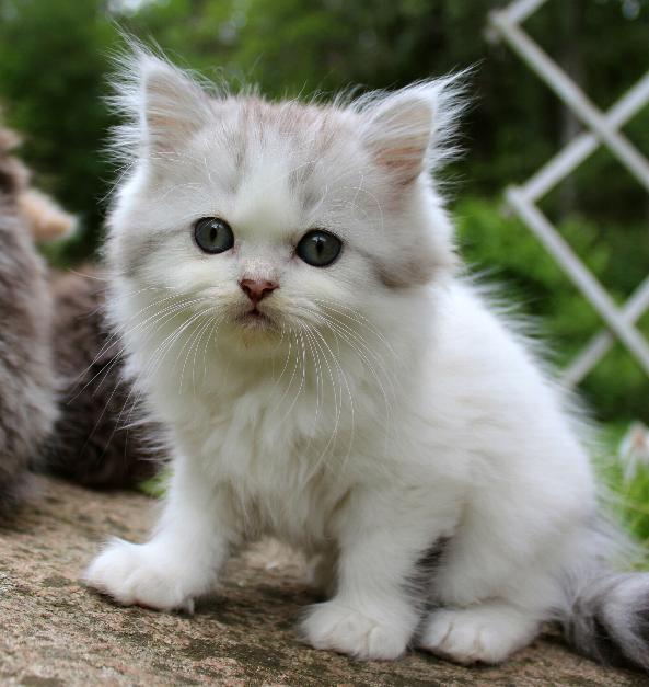 /vit-och-svart-silver-tigre-hane.jpg