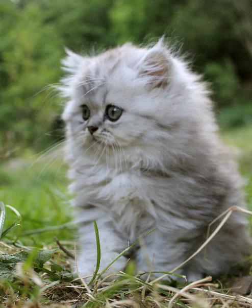 /svart-silver-shaded-retro-perser-kattunge-med-lang-nos.jpg
