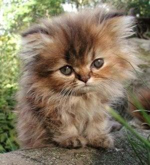 golden perser kattunge