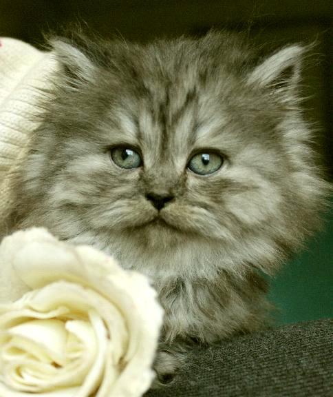 svartsmoke katter klassiskperser & maine coon