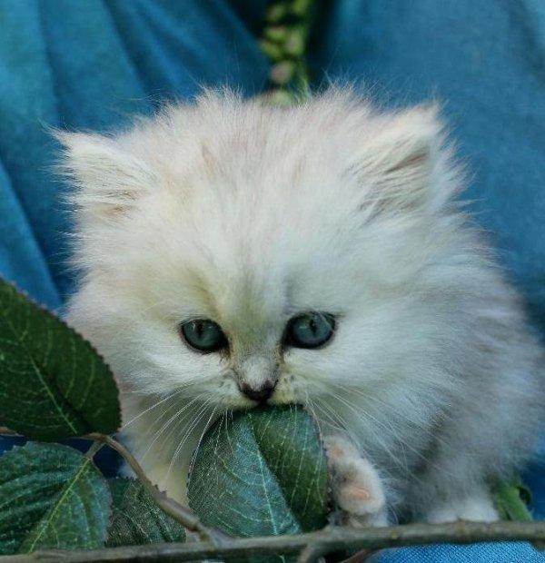 chinchillaperser hona kattunge