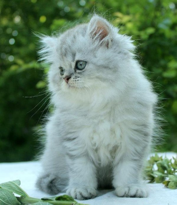 Blå silver kattunge klassisk perser