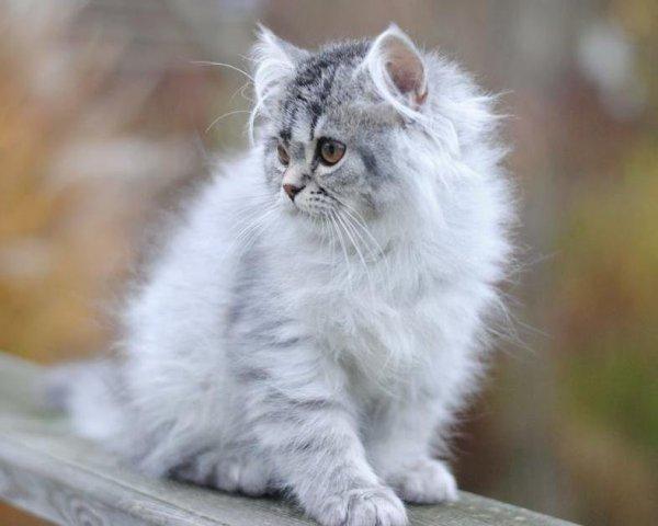 svart silver spotted chinchillaperser mainecoon blandning katt