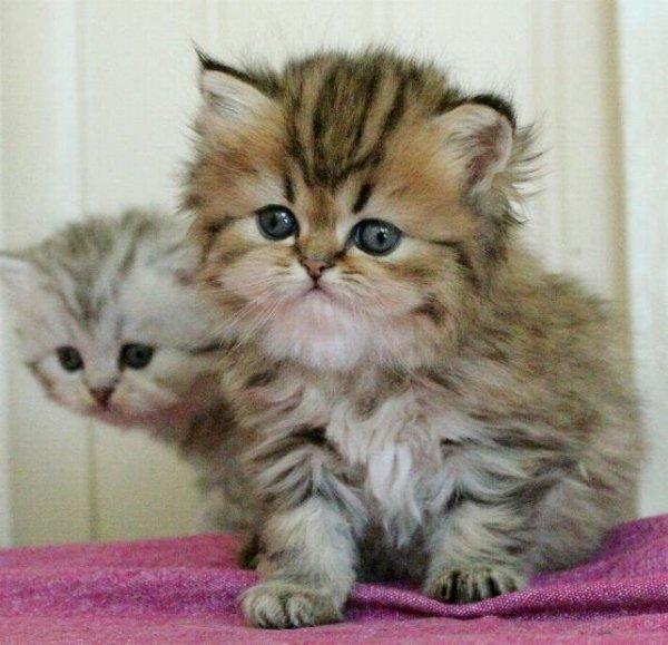 golden shaded och svart silver shaded kattungar klassisk perser