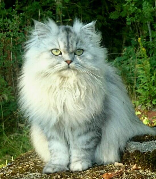 svartsilver shaded 87 procent chinchillaperser vuxen katter