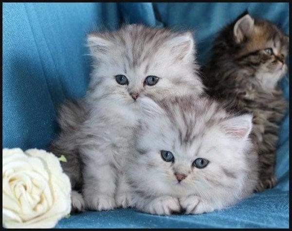 söta kattungar blandras chinchillaperser
