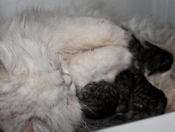 /kattungar-en-vecka-gamla-shaded-silver-morka.jpg