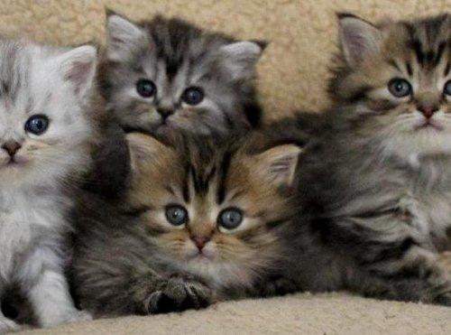 /kattunge-gruppbild-klassisk-chinchillaperser-och-mainecoon.jpg