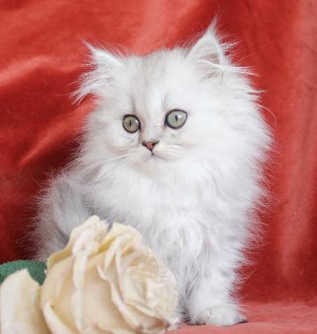 /svart-silver-chinchilla-ljus-shaded-katt-perser-klassisk.jpg