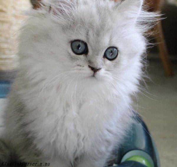/svart-silver-shaded-kattunge-klassisk-chinchilla-perser-mix-hona-1.jpg