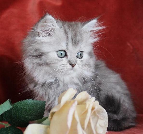 /svart-silver-shaded-kattunge-klassisk-chinchilla-perser-mix.jpg