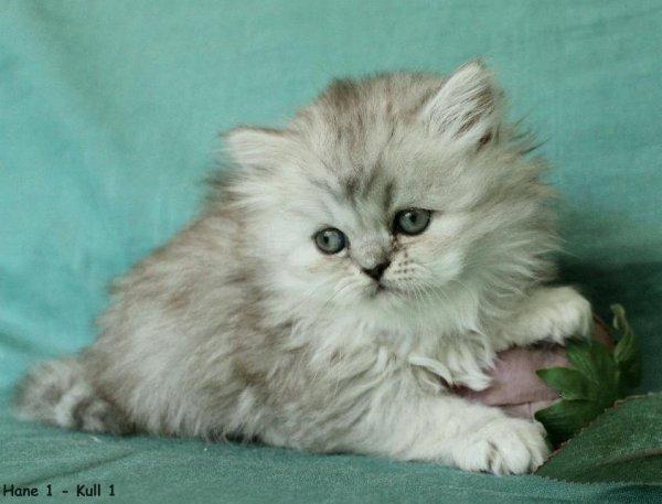 silverkatt