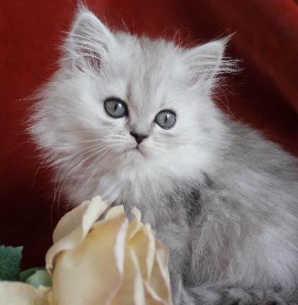 /svart-silver-shaded-hona-kattunge-chinchilla-perser-klassisk-katt.jpg