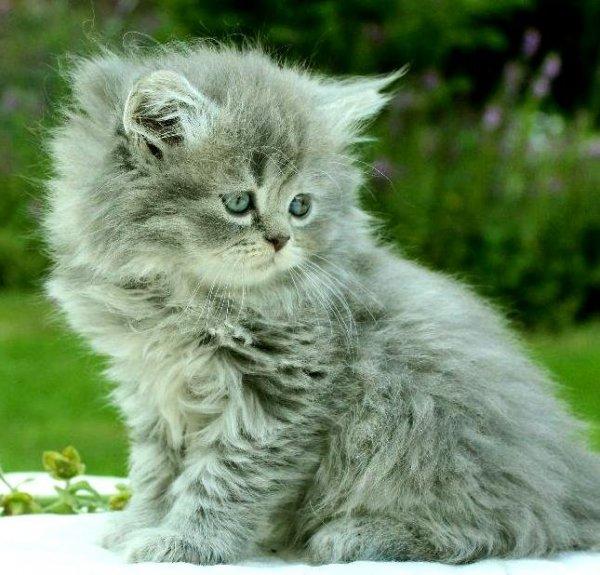 Blåsilver kattunge chinchillaperser & mainecoon blandning