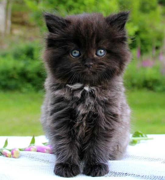 /svart-med-lite-smoke-kattunge-maine-coon-mix-med-chinchillaperser-katt.jpg
