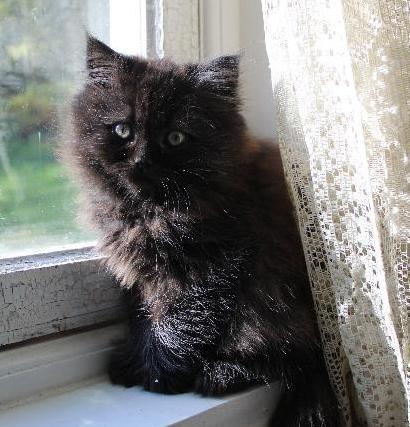 svart solid omönstrad katt perser maine coon mix