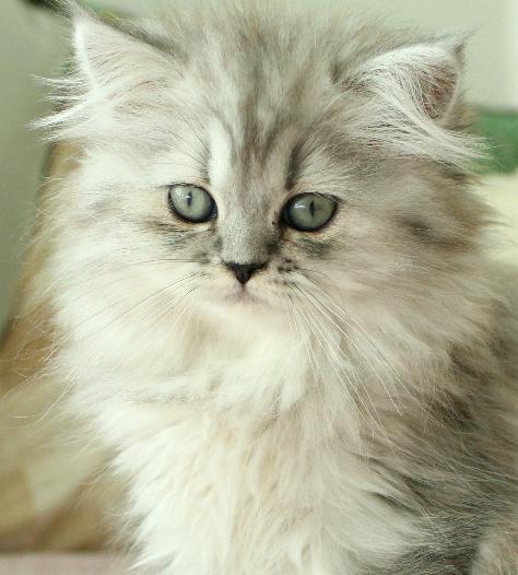 svart silver shaded 87 procent chinchillaperser kattunge