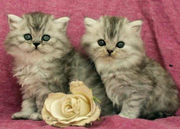 kattungar shadedsilver chinchillaperser mainecoon