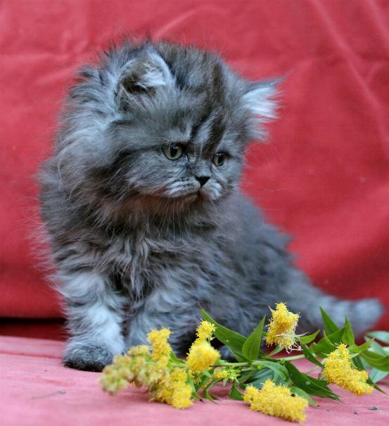 /svart-smoke-kattunge-hona-blandras-klassisk-perser-maine-coon-katt.jpg