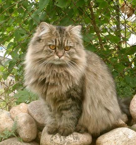 /sald-kattunge-vuxen-75-klassisk-perser-golden.jpg
