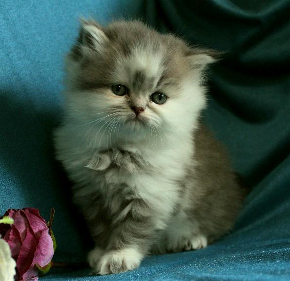 BlåGolden och vit chinchilla perser blandning med maine coon katt kattunge