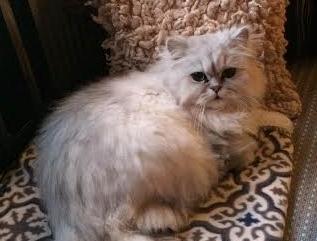 /sald-kattunge-vuxen-chinchilla-perser.jpg