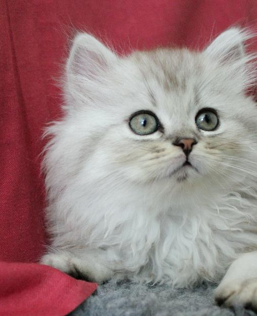 /svart-silver-shaded-hona-kattunge-hane-87-procent-klassisk-perser-maine-coon-mix
