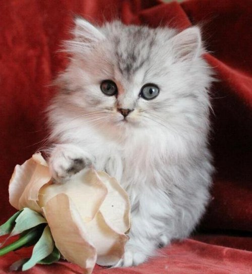 /svart-silver-shaded-hona-kattunge-klassisk-perser-maine-coon.jpg