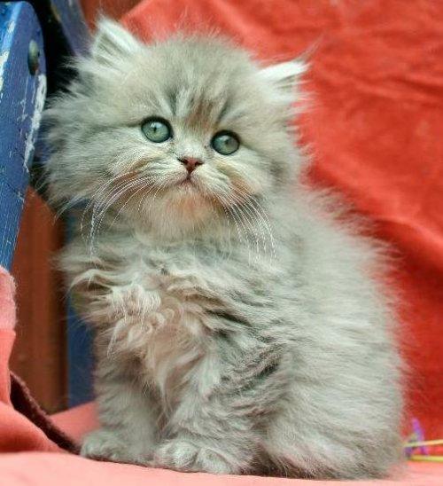 /bla-silver-kattunge-klassisk-perser.jpg