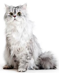 istockbild mörk svart silver shadedsilver vuxen katt