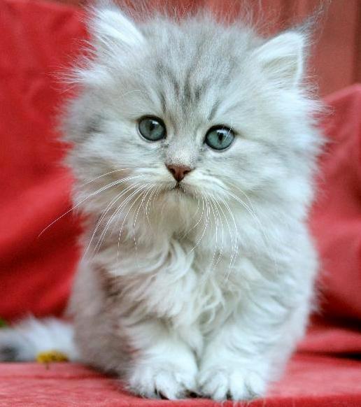 /bla-silver-shaded-hona-klassisk-perser-katt-mix-kattunge.jpg