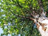 Björkträd