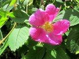 Ros i blomning