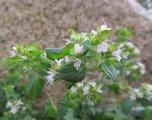 Blommande oregano