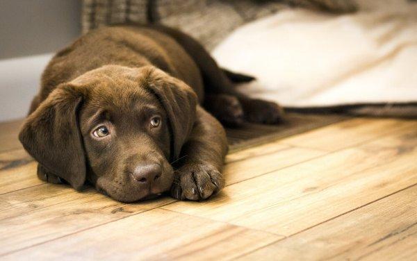 Hund ligger på nyslipat golv