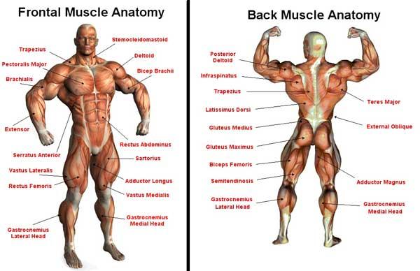 Anatomikarta-skelettmuskler