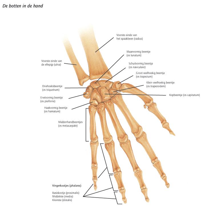 skeletthand 31