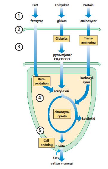 citronsyra-cykeln.png