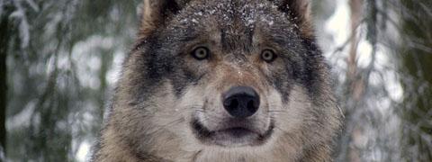 De wolven komen eraan