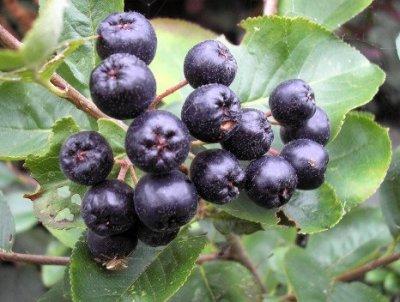 Aronia antioxidanter