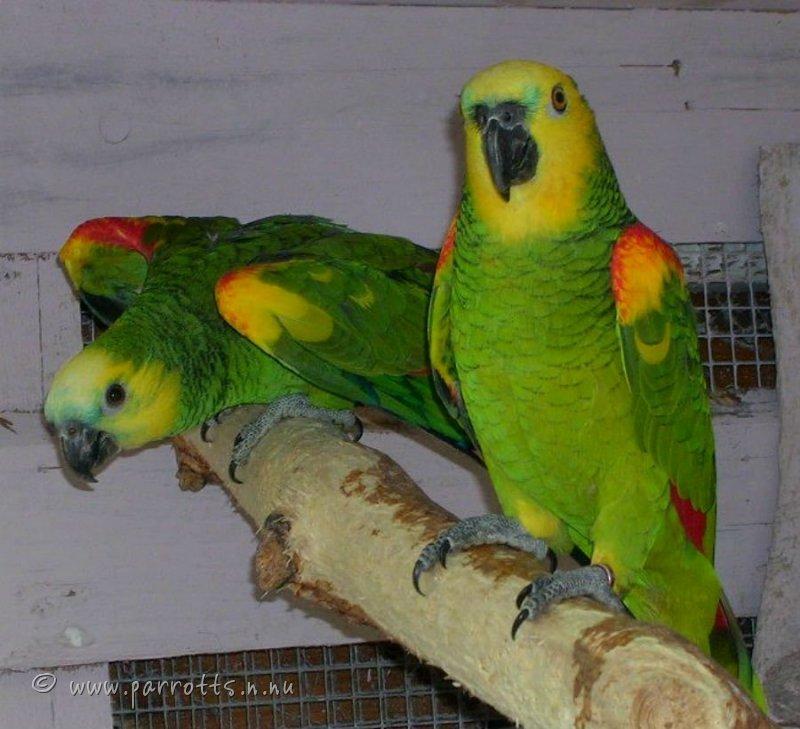 Amason papegoja