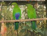 mini-blabukad-papegoja.jpg
