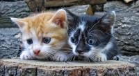 Huskatten er i dag hos de fleste katteeiere et kjært famliemedlem. Det er ikke så mange år siden katten kun var et nyttedyr som skulle holde unna mus og rotter. I dag stilles det kompetansekrav til dyreeierne i den nye dyrevelferdsloven.