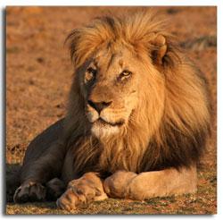 male-lion-1.jpg