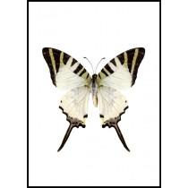 Häkon Graphium Antiphates (3GA) - affisch