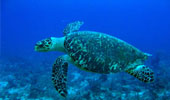 sejours-plongee-tortue