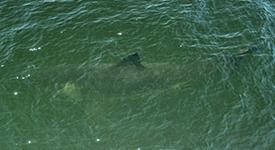 White Shark – July 23, 2014
