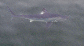 Porbeagle Shark – July 30, 2014