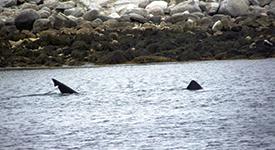 Basking Shark – July 14, 2014