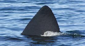 Basking Shark – July 11, 2014